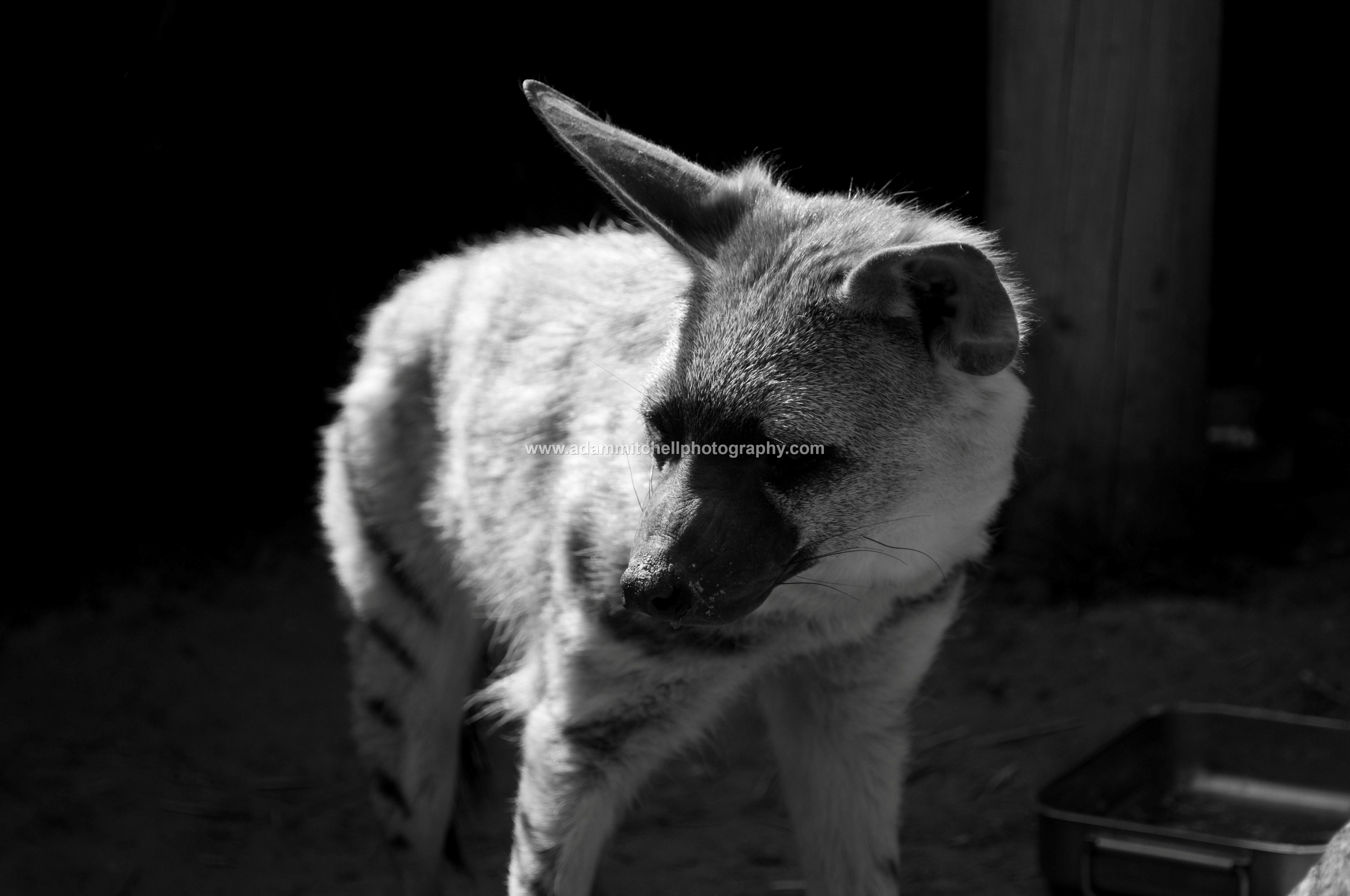 Aardwolf, Kent