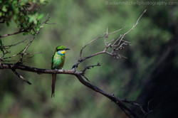 Swallow-tailed bee-eater