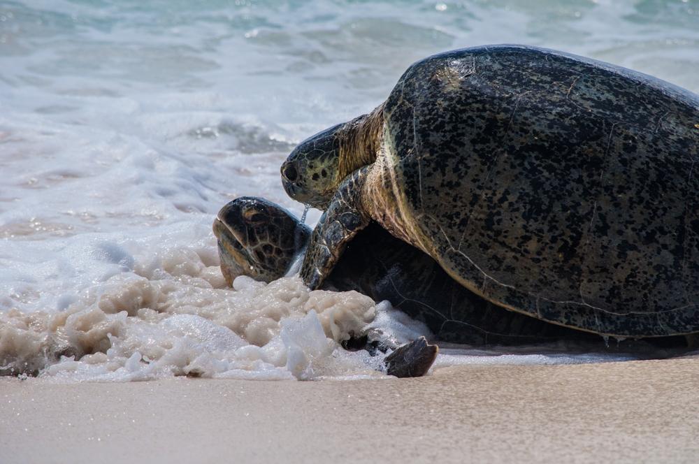 Mating green turtles, Aldabra
