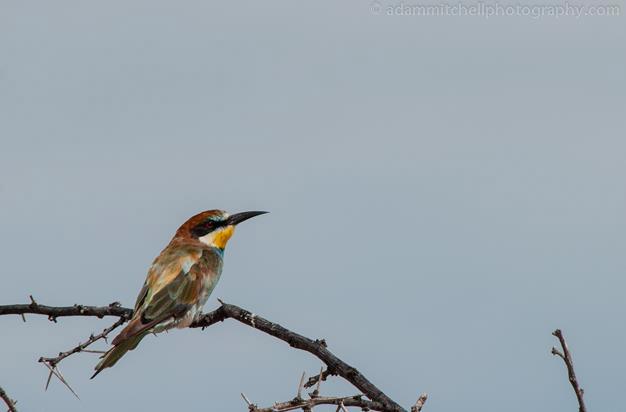 European bee-eater, Etosha