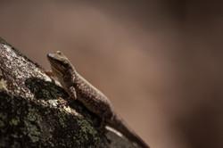 Aldabra day gecko