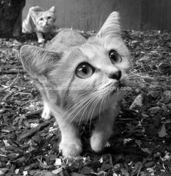 Arabian sand cat, Kent