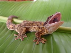 Turnip-tailed gecko, Dominica