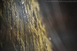 Golden orb web, Aldabra