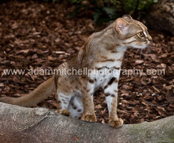 Rusty-spotted cat, Kent