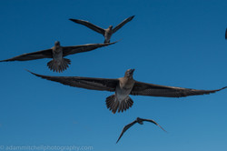 Red-footed boobies, Aldabra