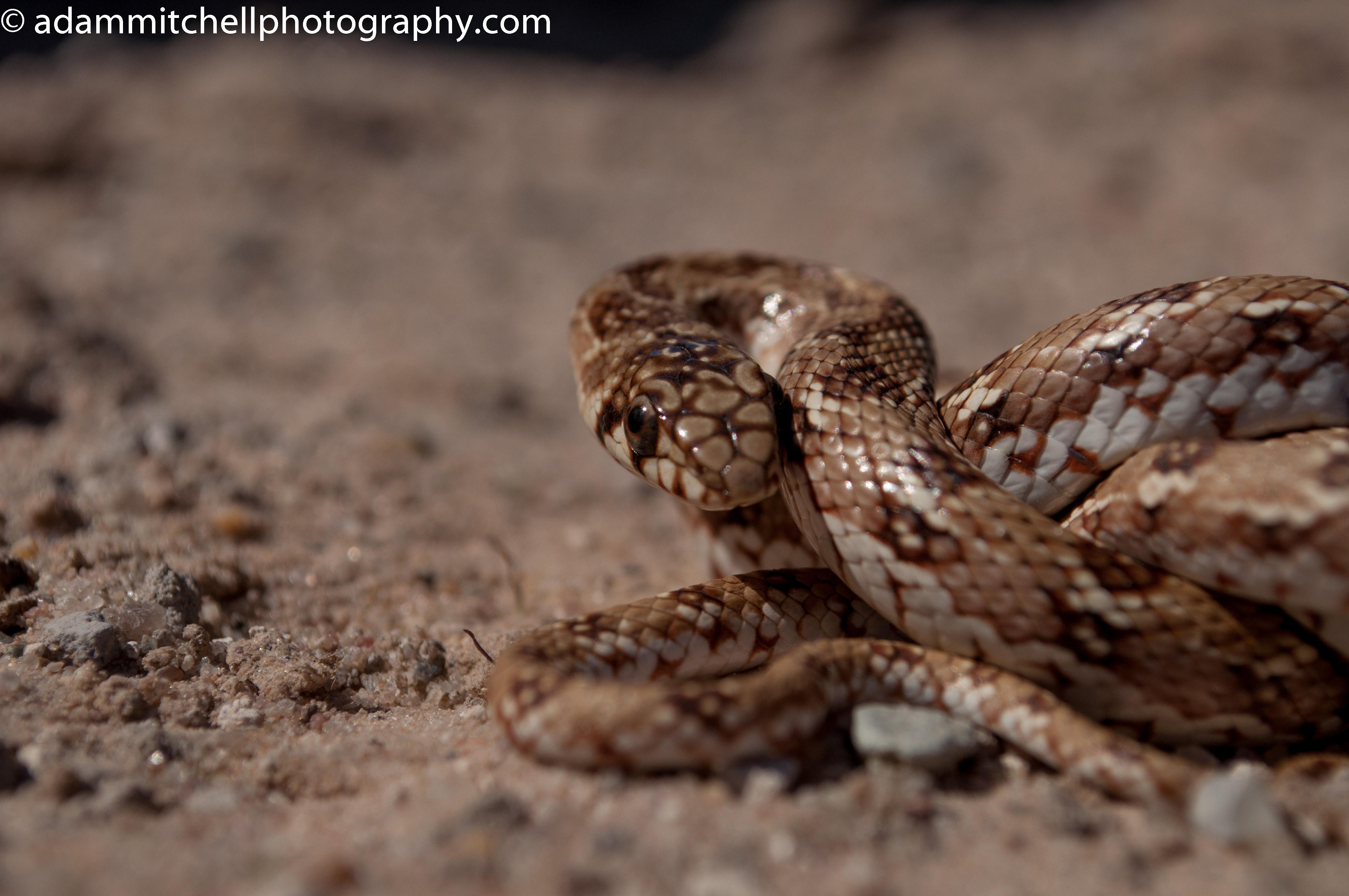 Dwarf beaked snake