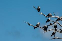 Blue pigeons, Aldabra