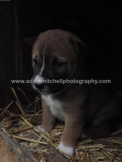 Singing dog puppy, Kent