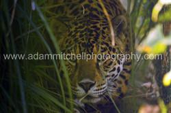 Jaguar, Isle of Wight