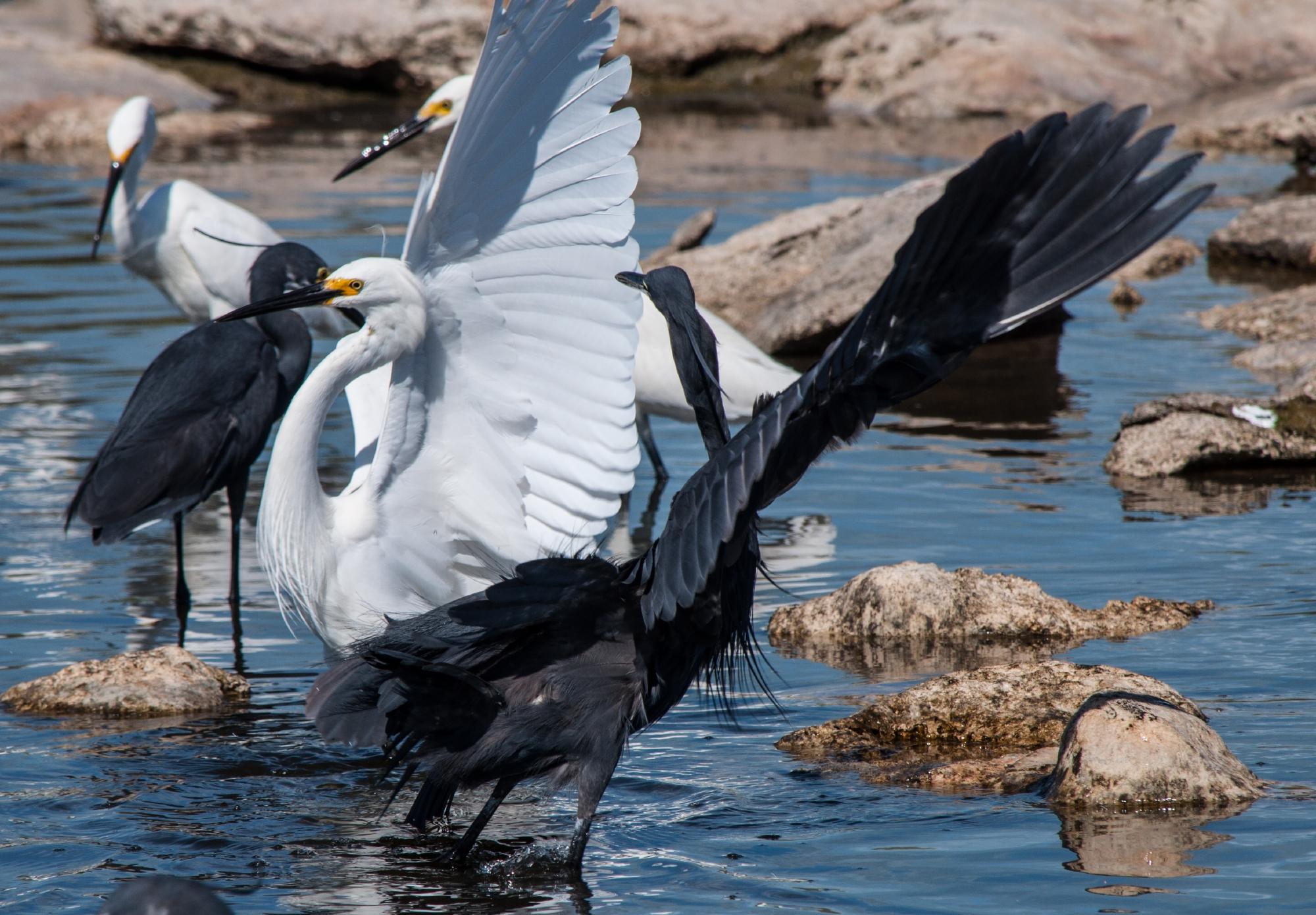 Dimorphic egrets, Aldabra