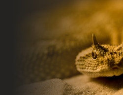 Horned viper, Cheshire
