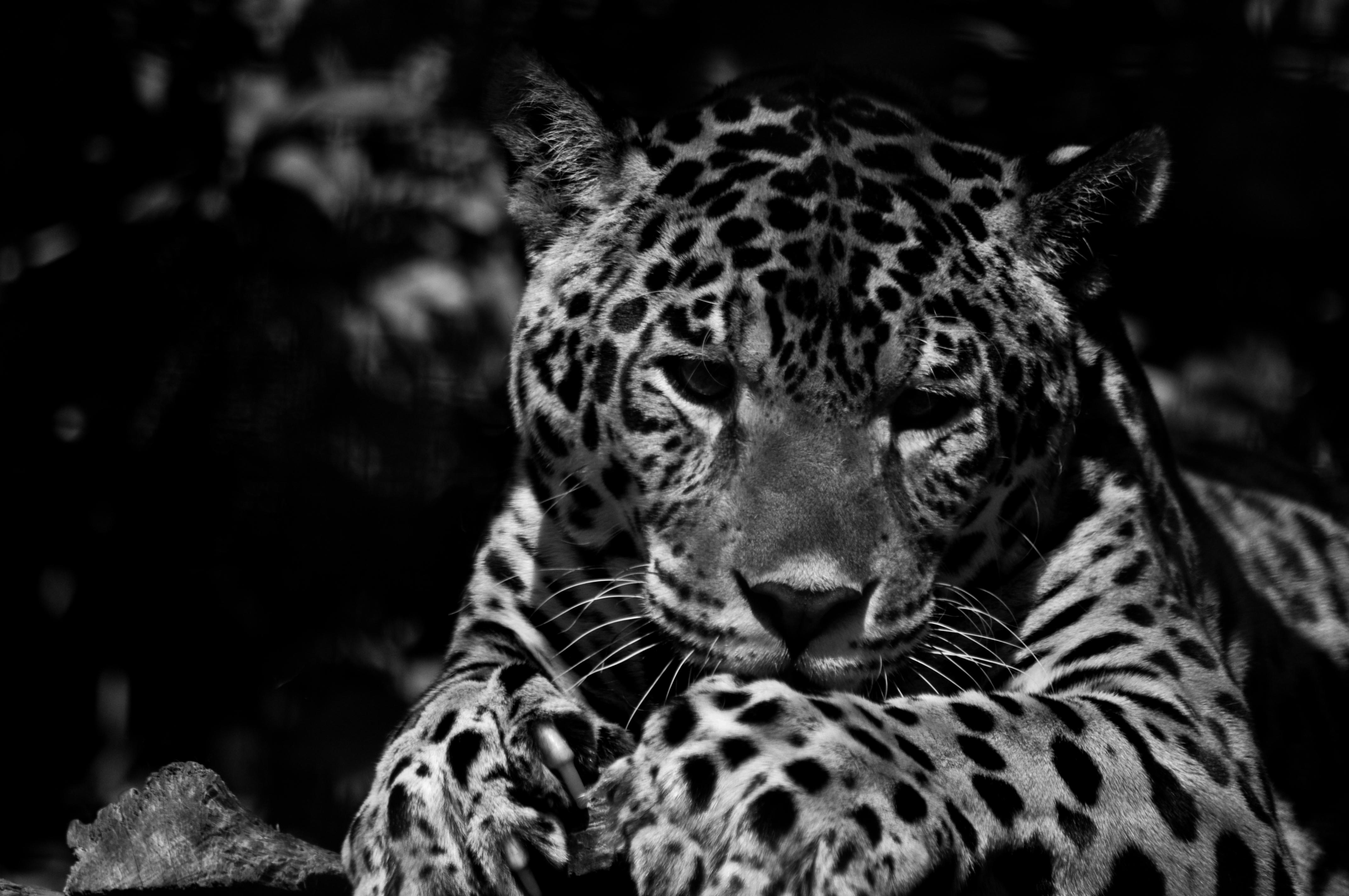 Jaguar, Kent