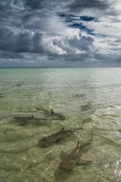 Blacktip sharks, Aldabra