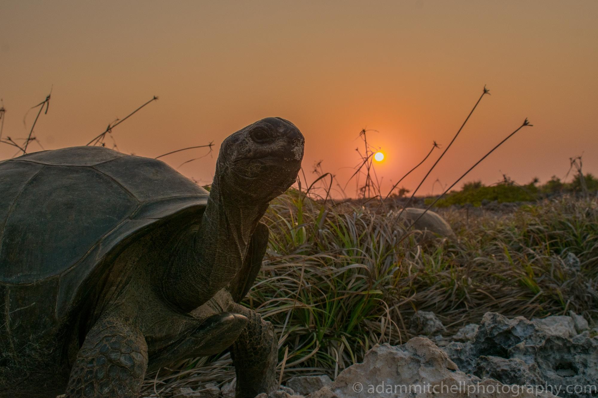 Aldabra, tortoise