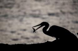 Grey heron predating turtles, Aldabr