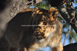 Young tree lion