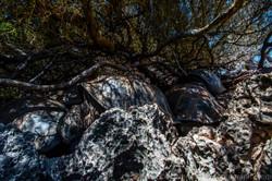 Aldabra tortoises in the shade