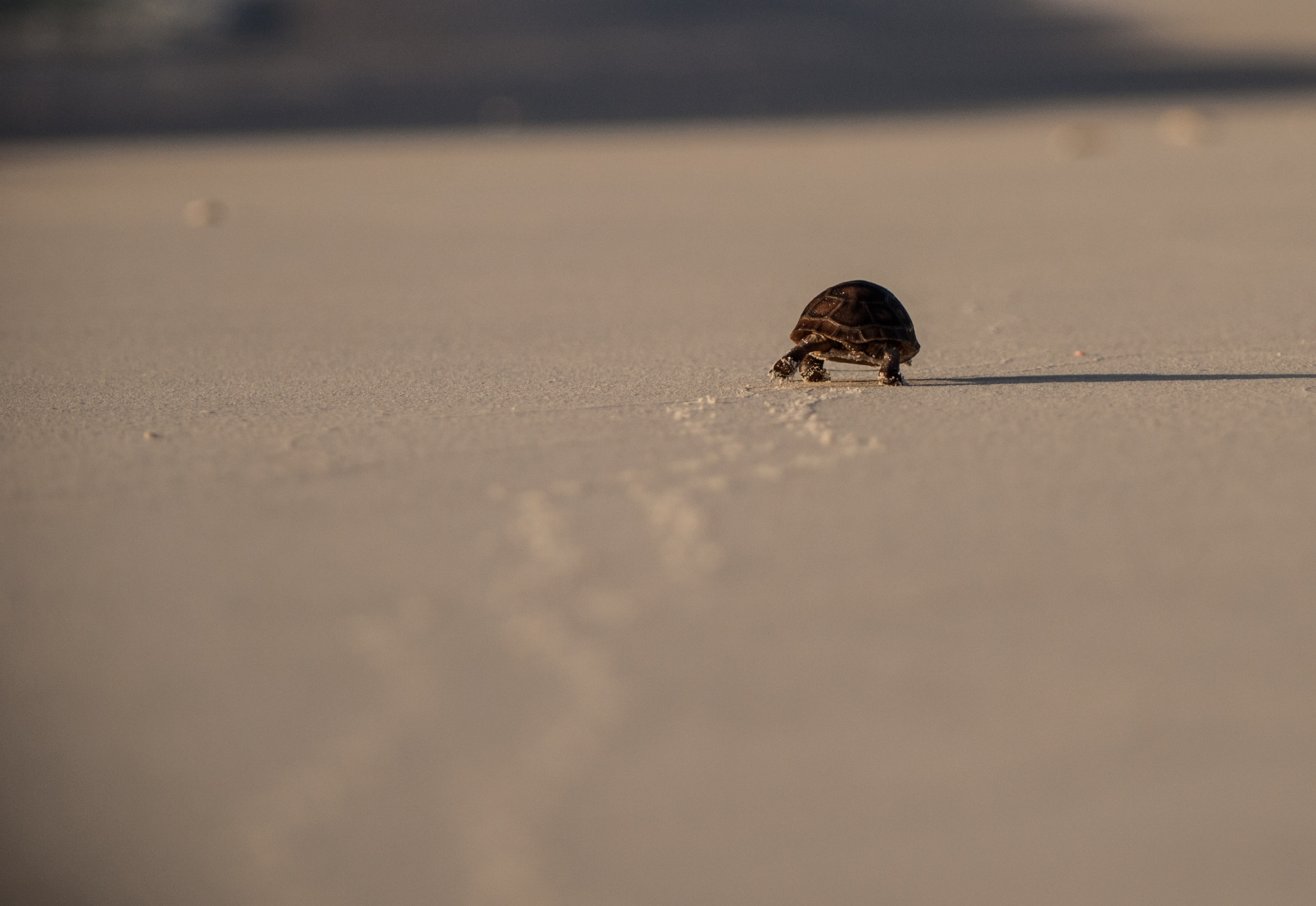 Aldabra tortoise hatchling