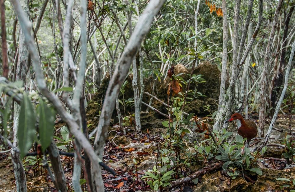 Aldabra flightless rail