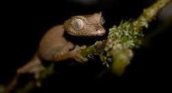 Satanic leaf-tailed gecko, Cheshire