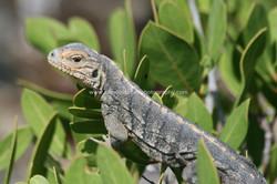 Andros iguana juvenile, Bahamas