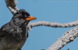 Bulbul, Aldabra