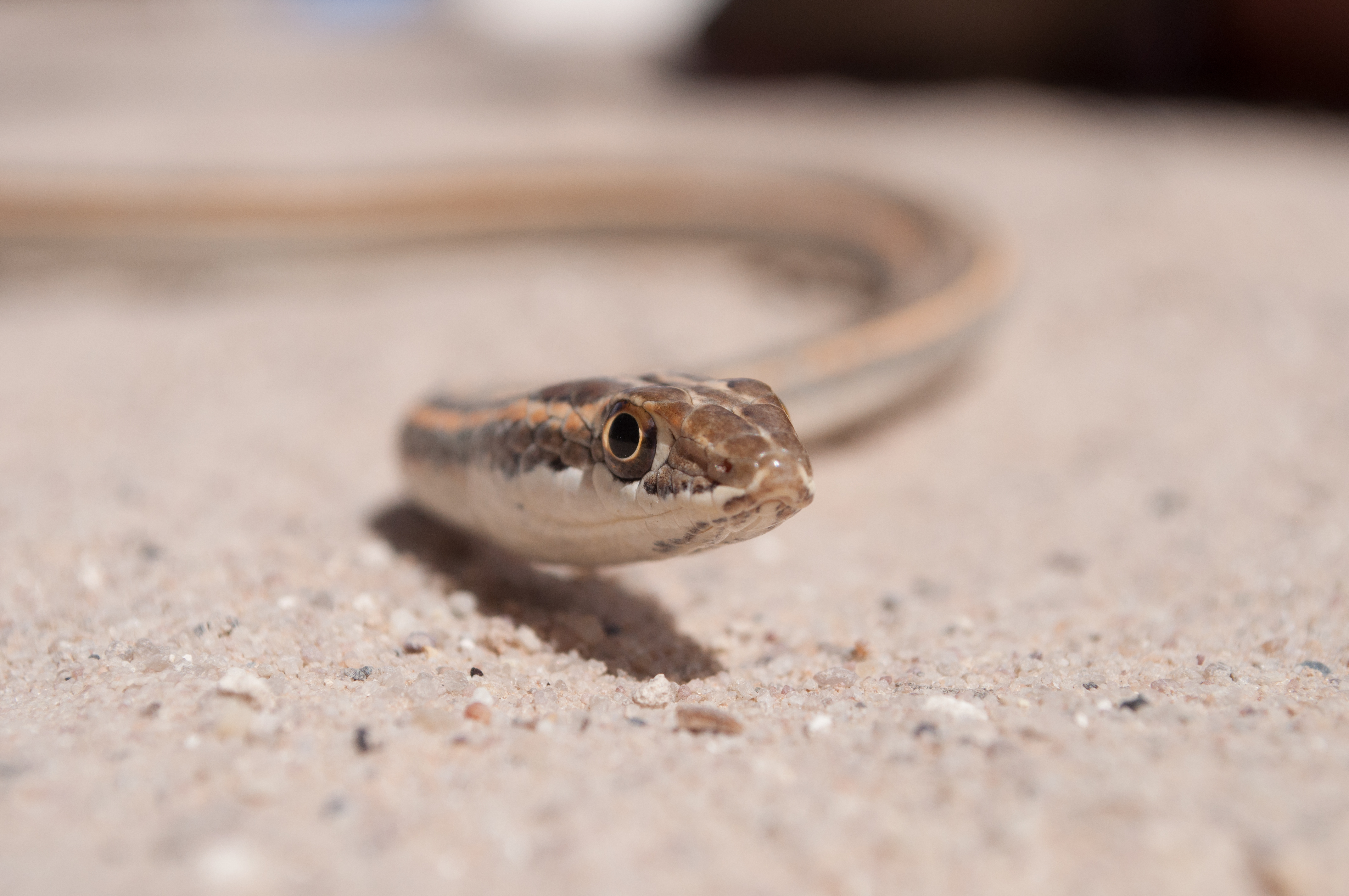 Lined sand snake