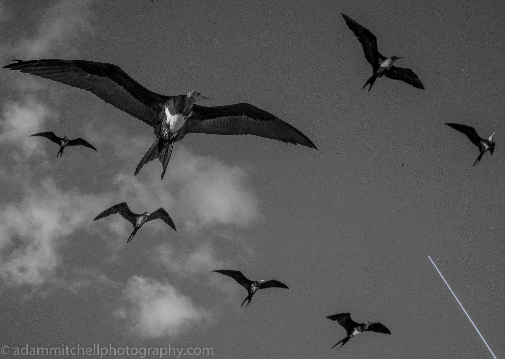 Frigates, Aldabra