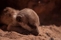 Kalahari meerkat pup