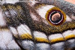 Emperor Moth Wing