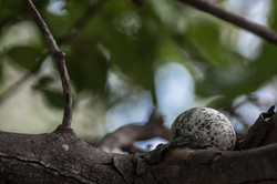 Fairy tern 'nest', Aldabra