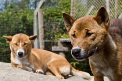 Singing dogs, Kent