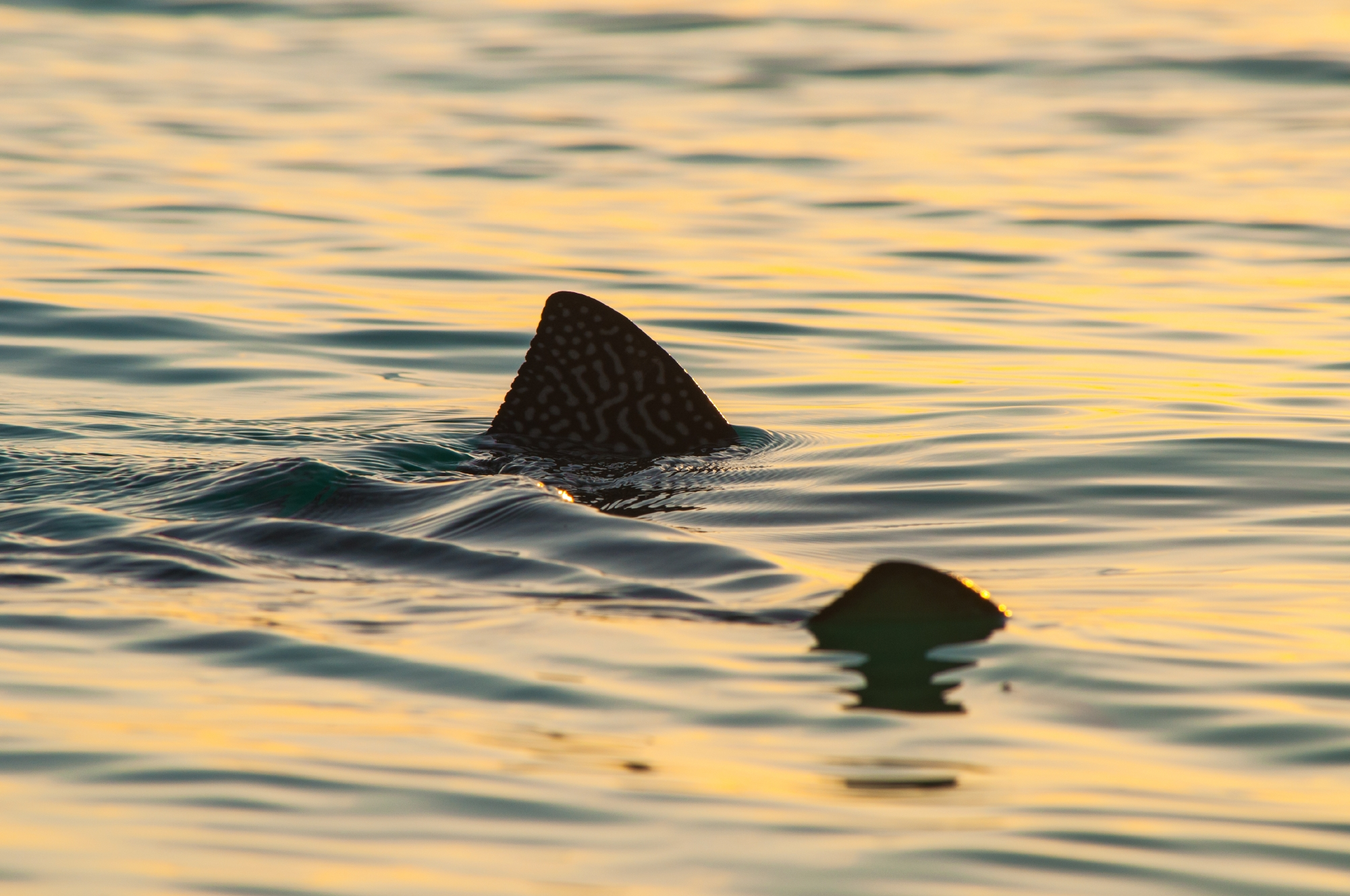 Spotted eagle ray, Aldabra