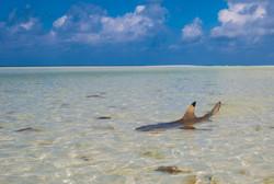 Blacktip shark, Aldabra