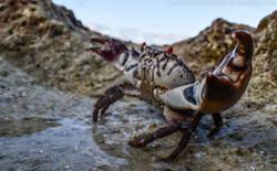 Shore crab, Aldabra