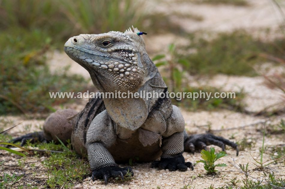 Lesser Caymans iguana, Little Cayman