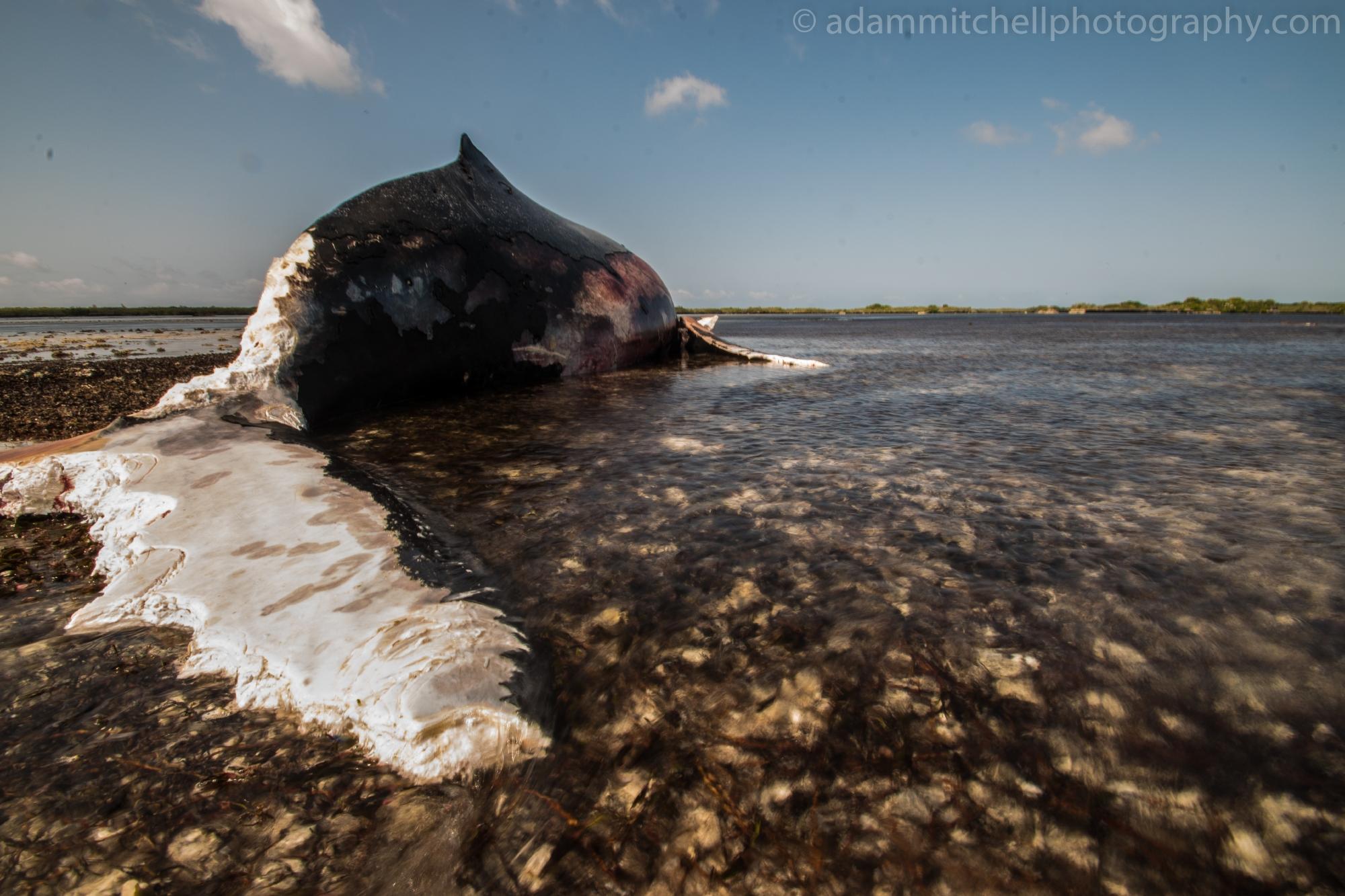 Stranded humpback, Aldabra