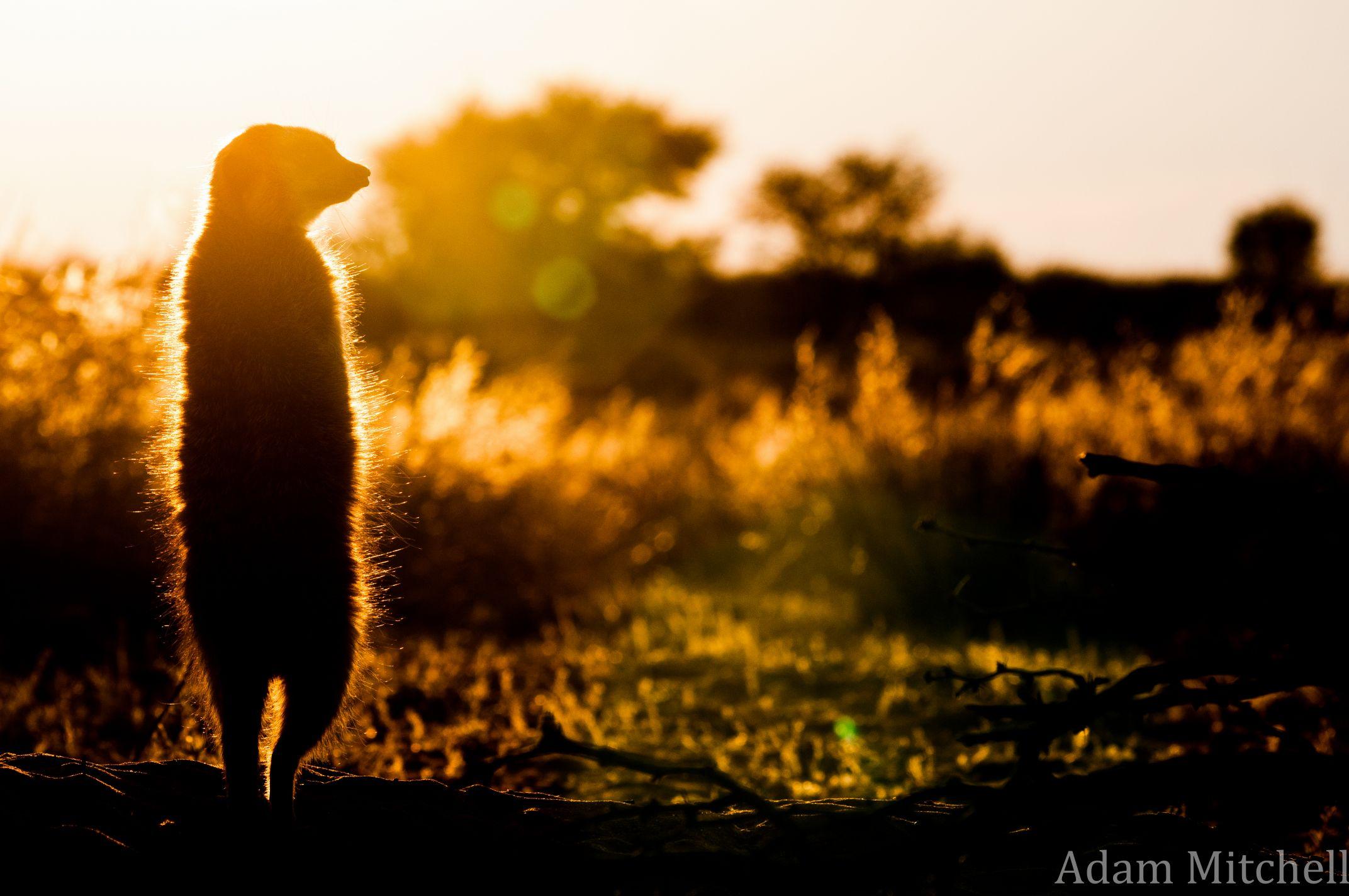 Kalahari meerkat