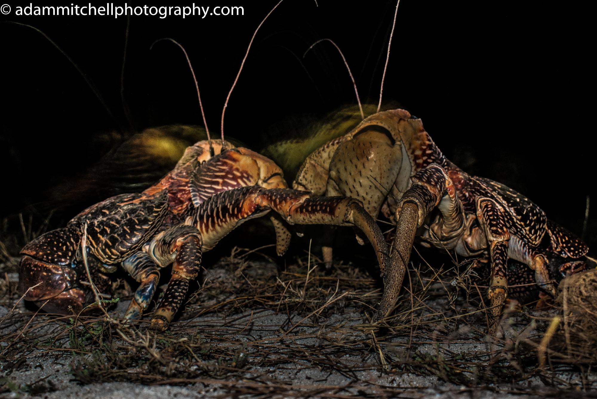 Coconut crabs, Aldabra