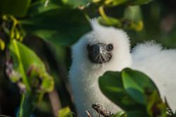Booby chick, Aldabra