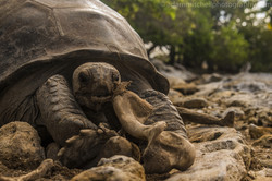 Tortoise cannibalism, Aldabra