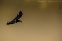 Pied crow, Aldabra