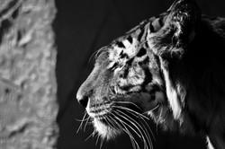 Tiger, Isle of Wight