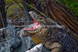 Lesser Caymans rock iguana