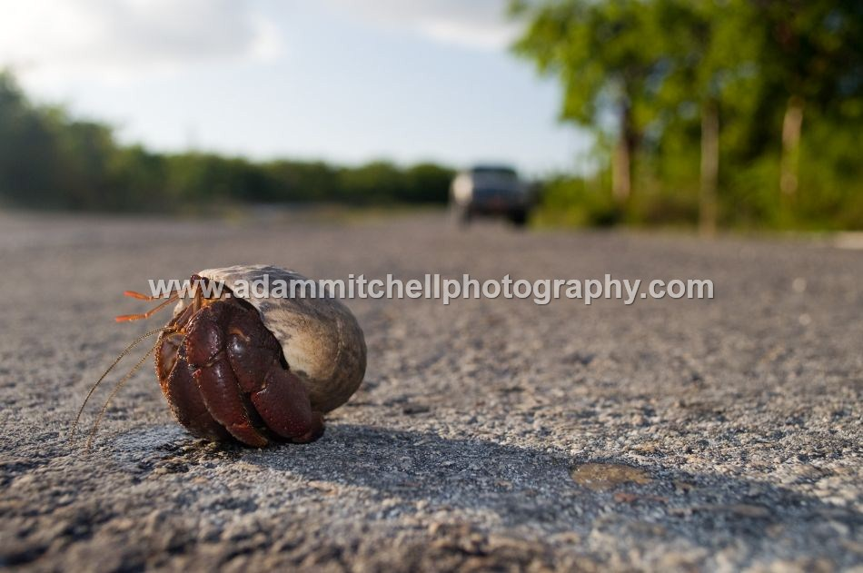 Hermit crab, Little Cayman