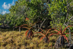 Lomatophyllum, Aldabra