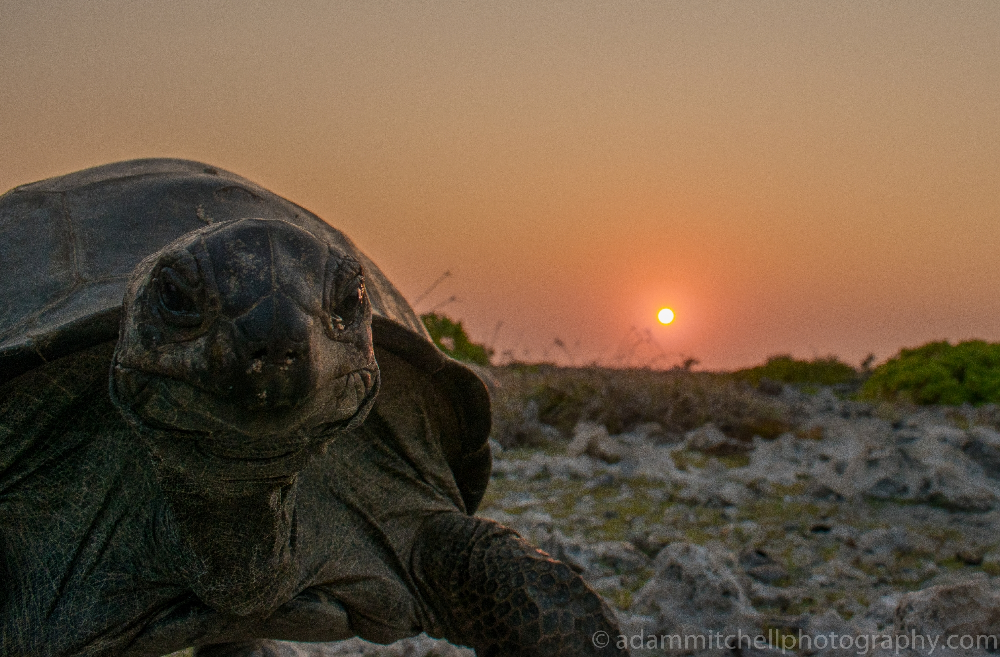 Tortoise photobomb, Aldabra