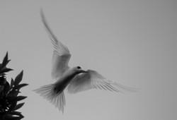 Fairy tern, Aldabra