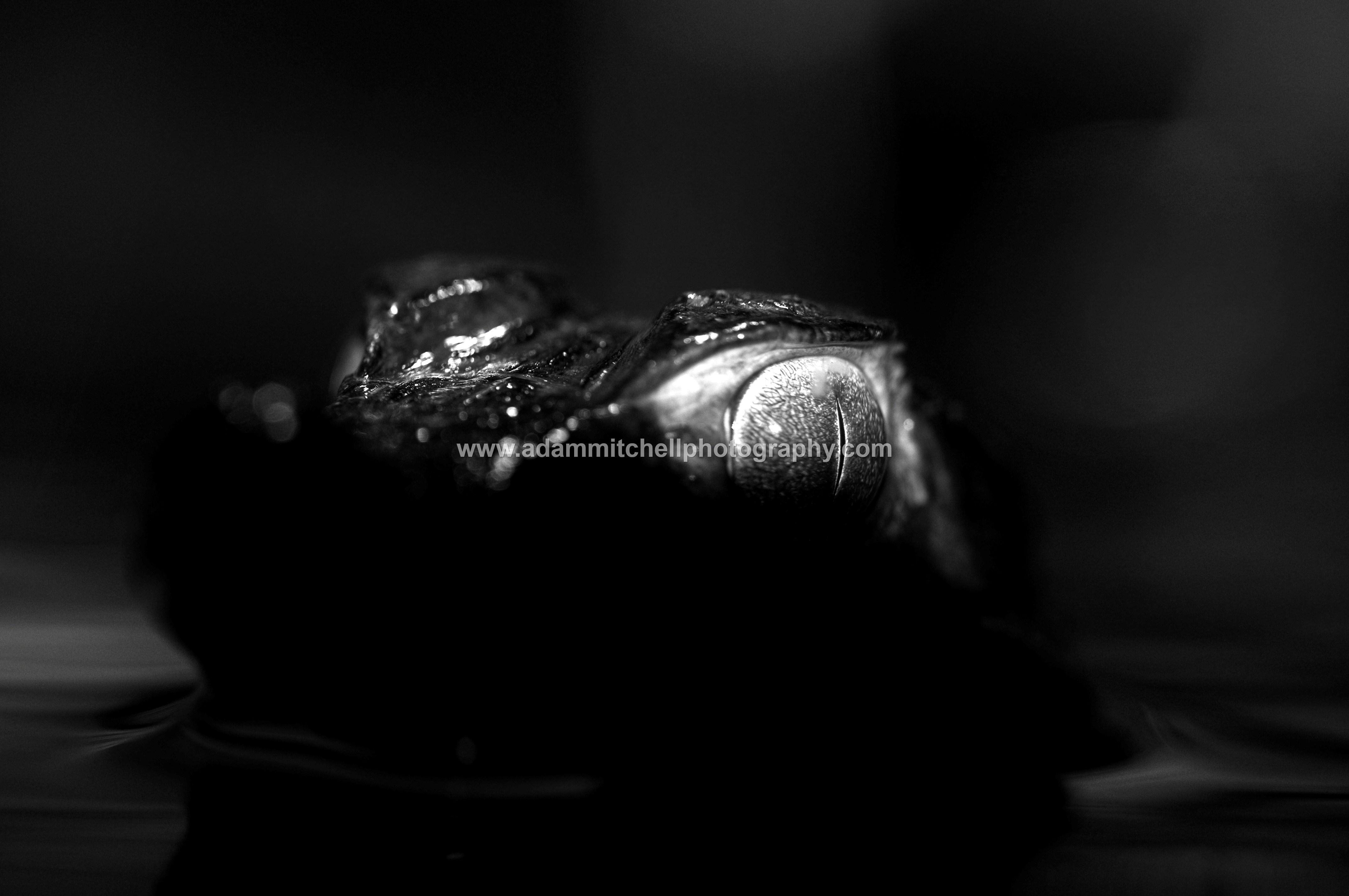 Dwarf caiman, Cheshire